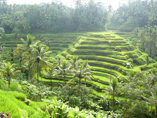 Rice terrace at tegalalang Ubud