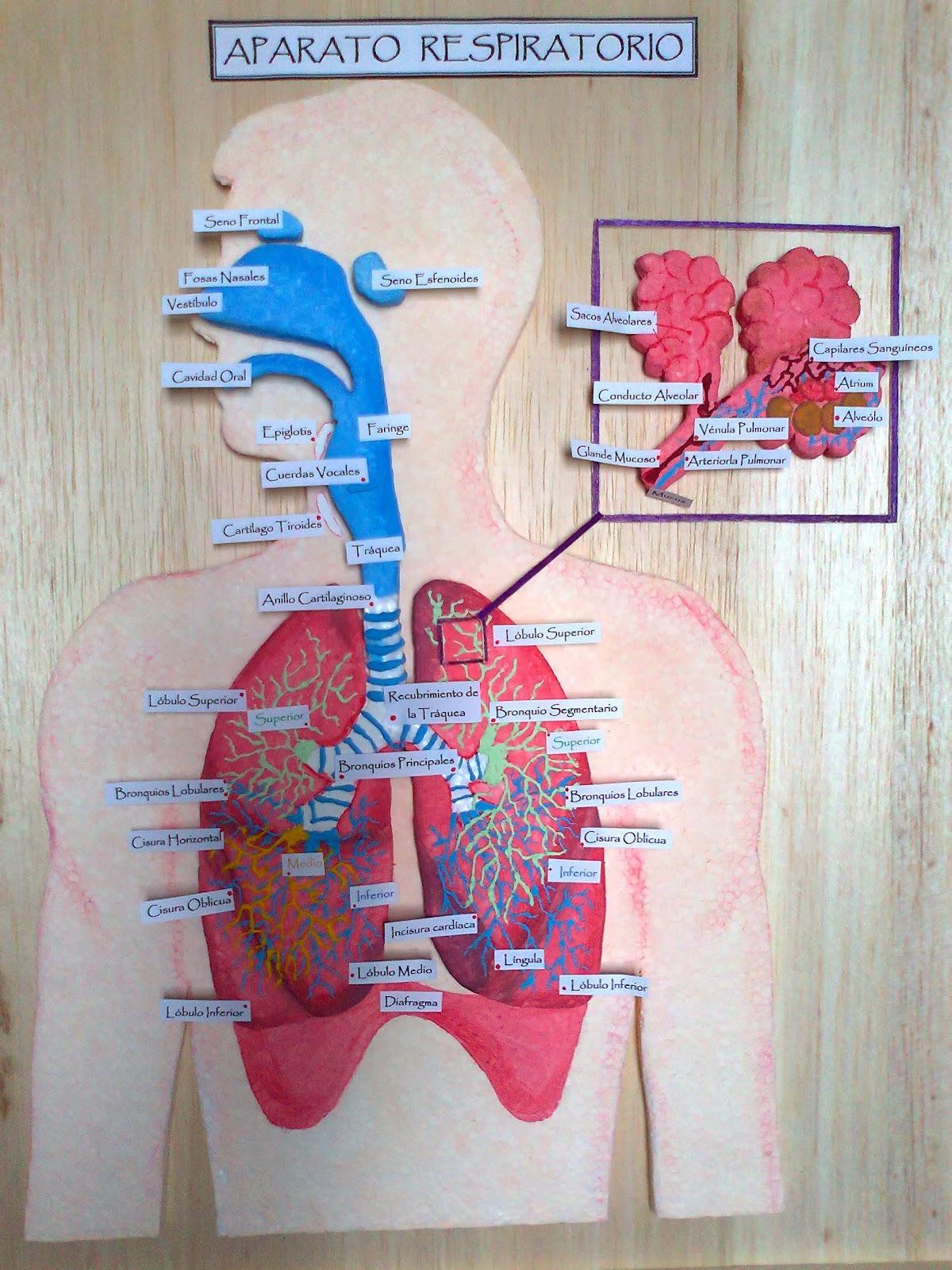 Maqueta De Sistema Respiratorio