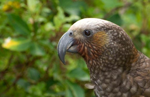 Parrot beak - photo#6