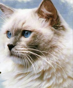 Facts about Ragdoll Cats!