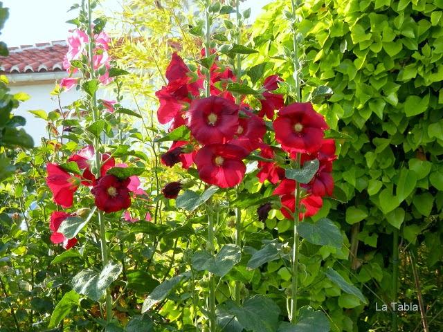 Fichas bot nicas malvarrosa althaea rosea for Malvarrosa planta
