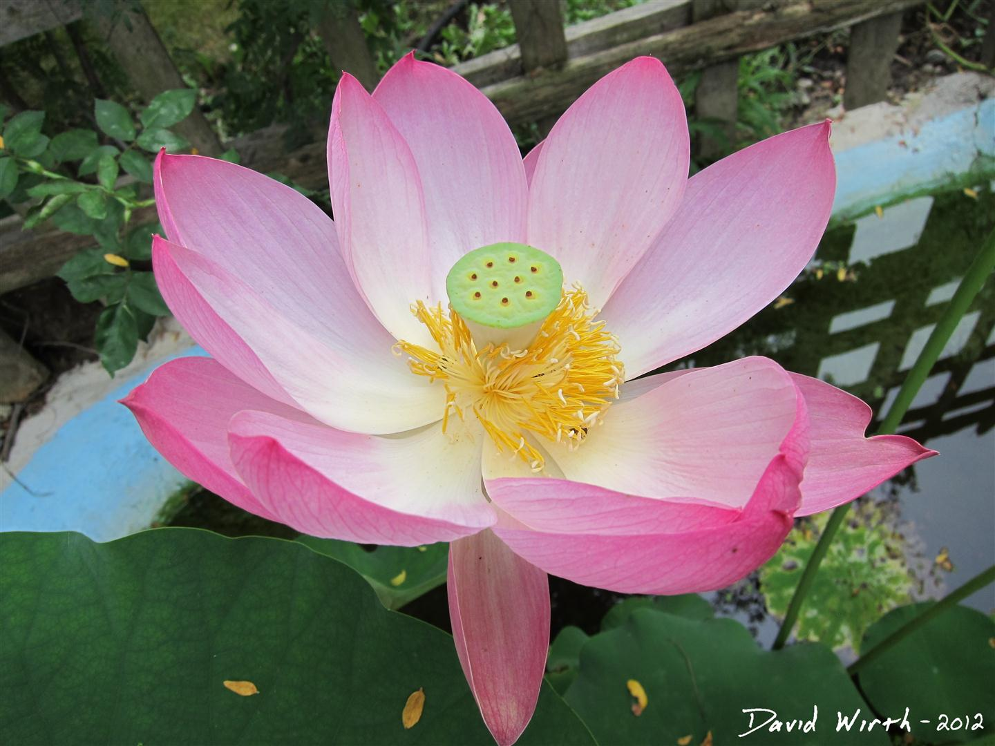 How to grow a lotus plant lotus flower united states usa how to grow plant izmirmasajfo