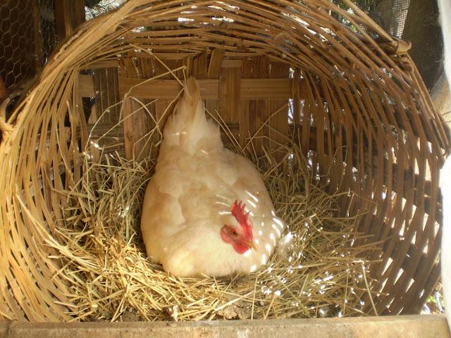 Botando ovos