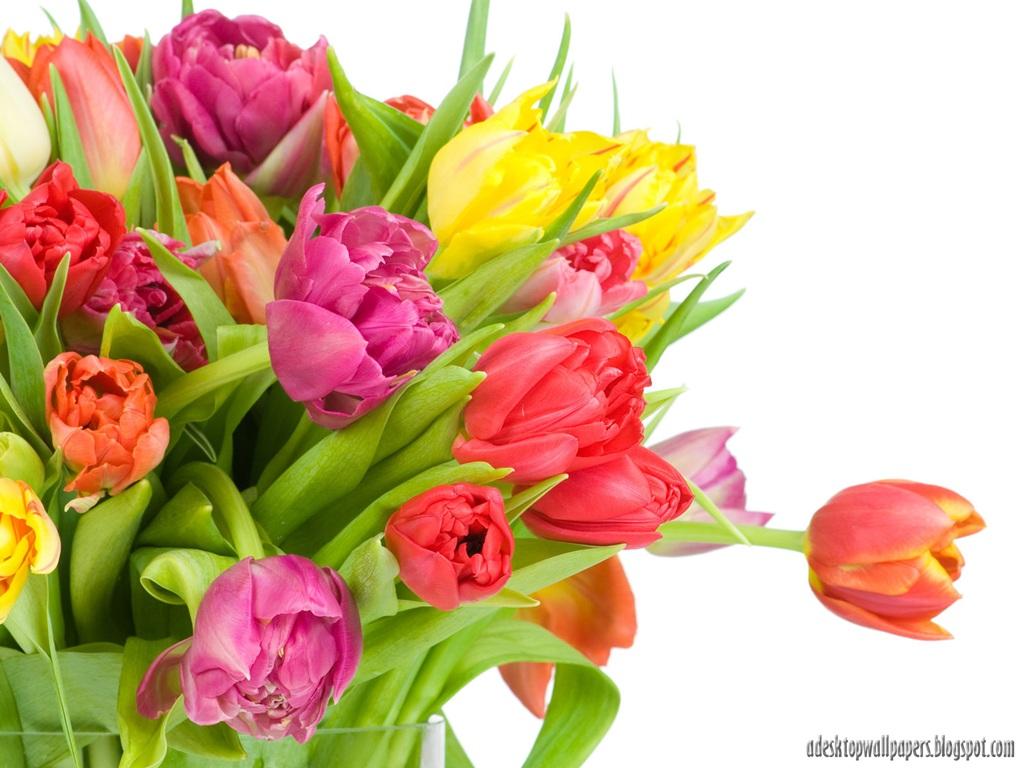 Beautiful Tulip Flower Desktop Wallpapers PC Free Wallpaper High