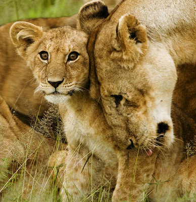 African-Lioness-With-Baby-Cub