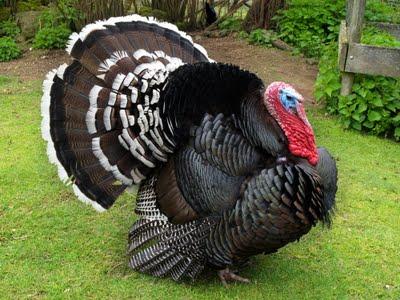 Foto Ayam Kalkun Lucu