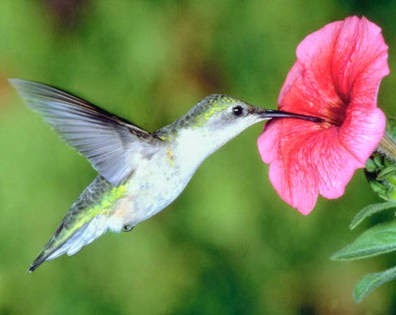 find Hummingbirds facts and info