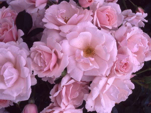 http://3.bp.blogspot.com/-_XX4y_aT4fY/USSyZD44_dI/AAAAAAAAa_k/avUS0b2OhKE/s640/Pink+Rose.JPG