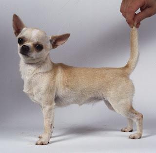 chihuahua dog puppy breeds hound chien hund perro canine animals domestics maskotak pets Haustiere huisdieren animaux de compagnie husdjur info