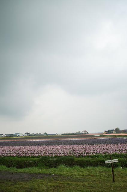 nederland tulips
