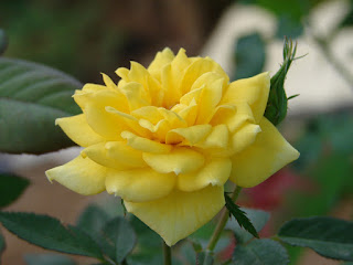 Single Yellow Rose with bud