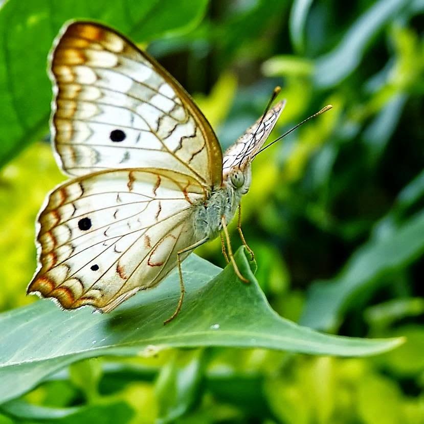 Piruja: La Mariposa Blanca ( Leyenda Japonesa)