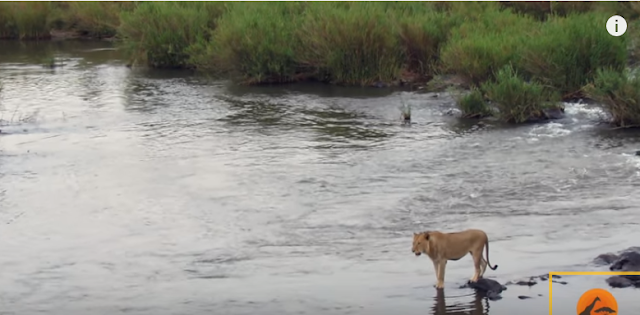 A young lion decides to cross Sabie river at the Kruger National Park in South Africa.  A hungry crocodile sneaks up from behind and tries to grab it. Though the crocodile gets a grip, it realises that the lion is too big and too powerful to be dragged under.