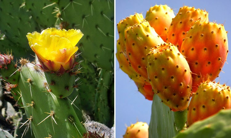 Flores y frutos de la chumbera