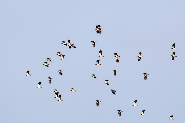 Lapwings in flight (2)
