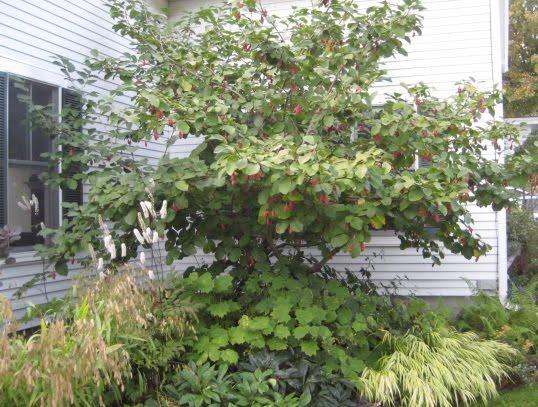 the gardener 39 s eye magnolia sieboldii in fruit. Black Bedroom Furniture Sets. Home Design Ideas