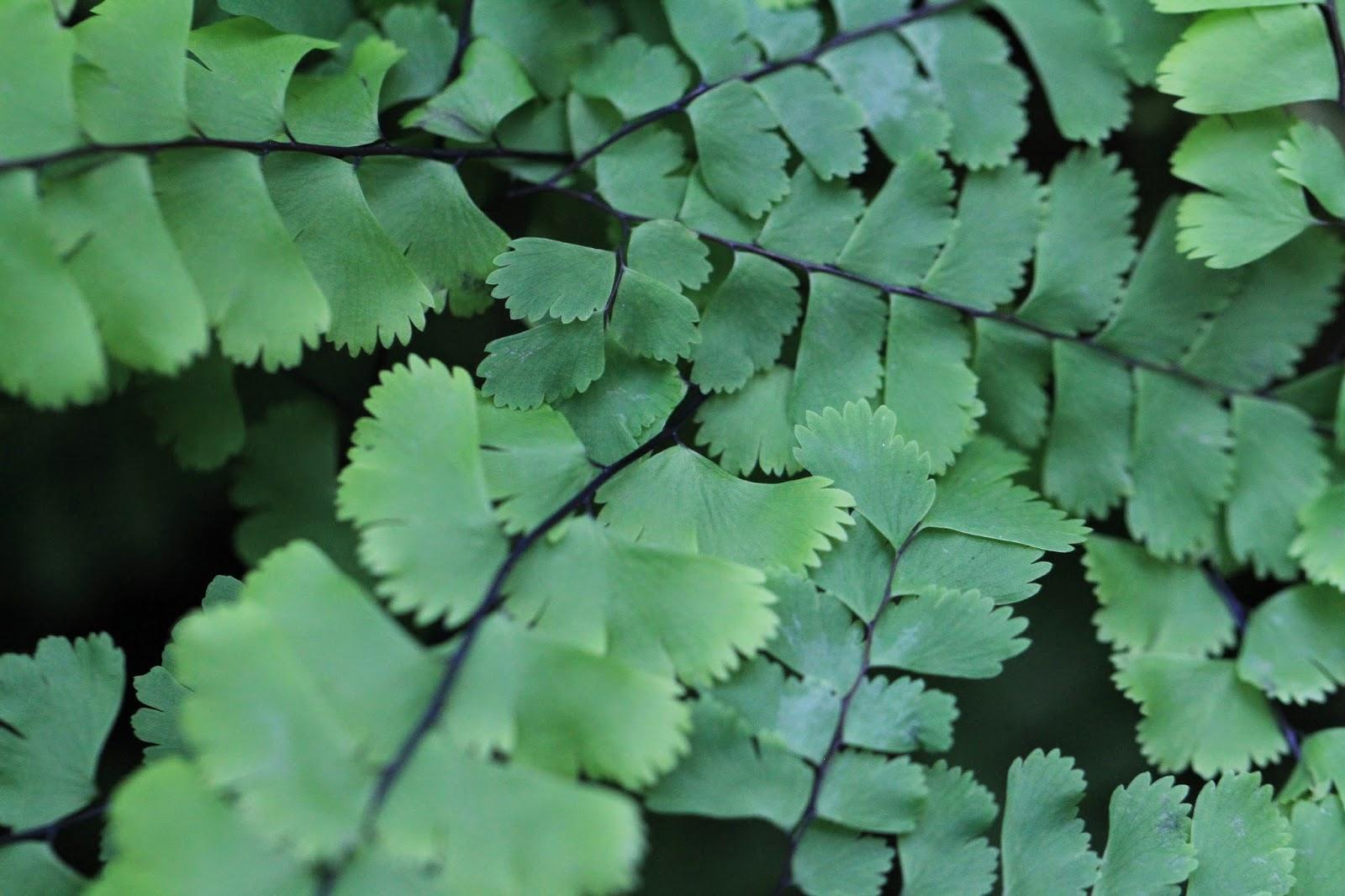 Adiantum aleuticum (Western Maidenhair Fern)