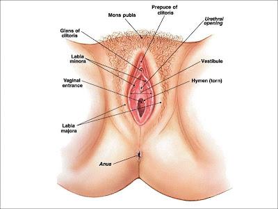 gambar organ intim wanita | genital wanita