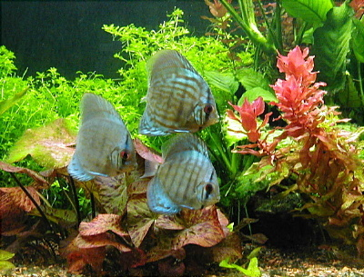 Discus Fish Care And Provides Fun And Satisfaction When