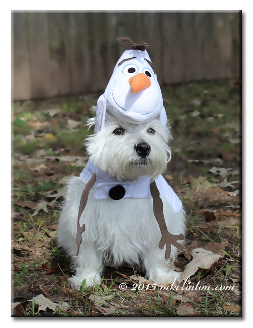 Pierre Westie in Frozen's Olaf costume