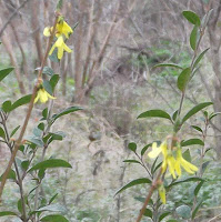 early forsythia bloom