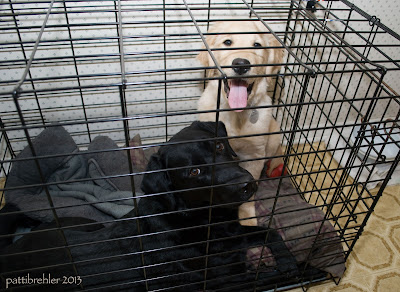 The same shot of the black lab lying in a large crate, but now the golden retriever puppy is sitting up at one end, long pink tongue hanging out with an expression in his eyes that he is ready to get out!