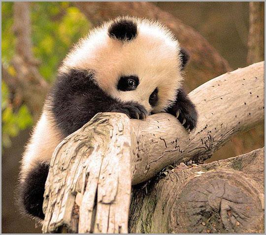 Cute Baby Panda, Panda, Baby Animals
