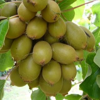 Manfaat Buah Kawi Gold untuk Kesehatan