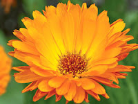 Calendula: Traditional remedy for the treatment of wounds