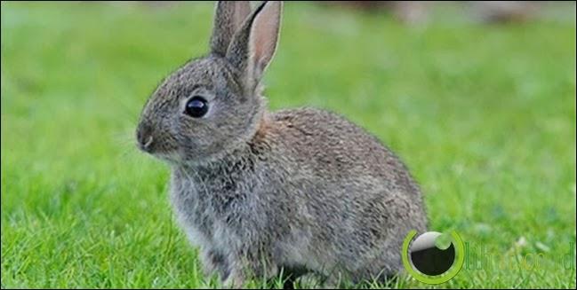 Kelinci, mendeteksi kehamilan