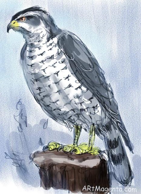 Norhtern Goshawk, a bird sketch by Artmagenta.