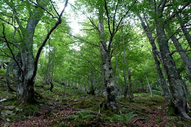 Hayedo del Gumial - Aller - Asturias