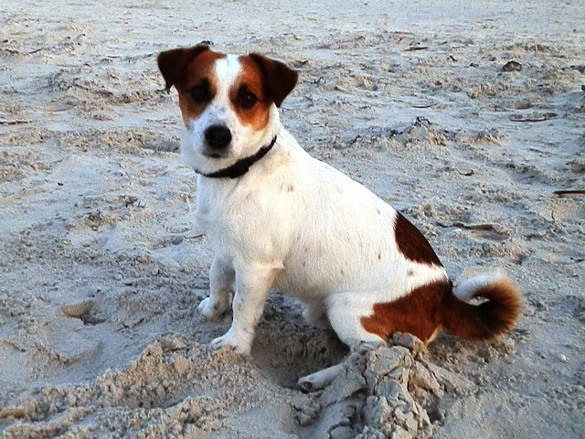 Cholo - Jack Russell Terrier