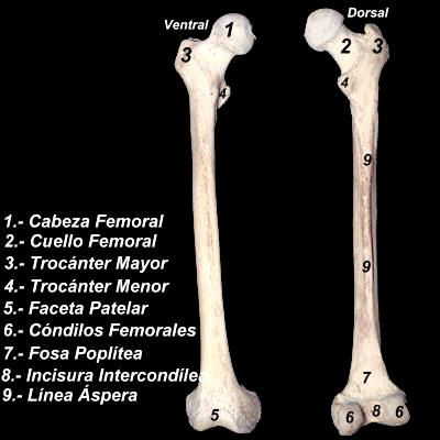 Imagen del hueso femur del ser humano enumerando sus partes
