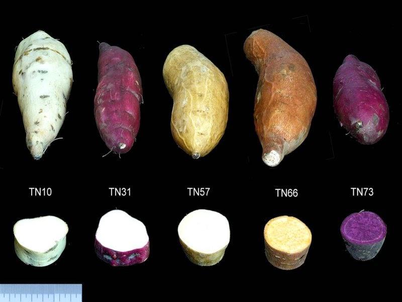 「地瓜品種」的圖片搜尋結果