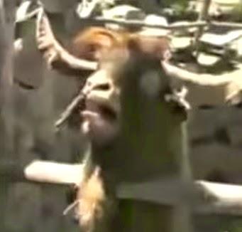 Opening de Juego de Tronos, versión cabras