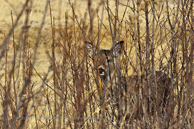 White Tailed Deer in Custer State Park by Dakota Visions Photography LLC
