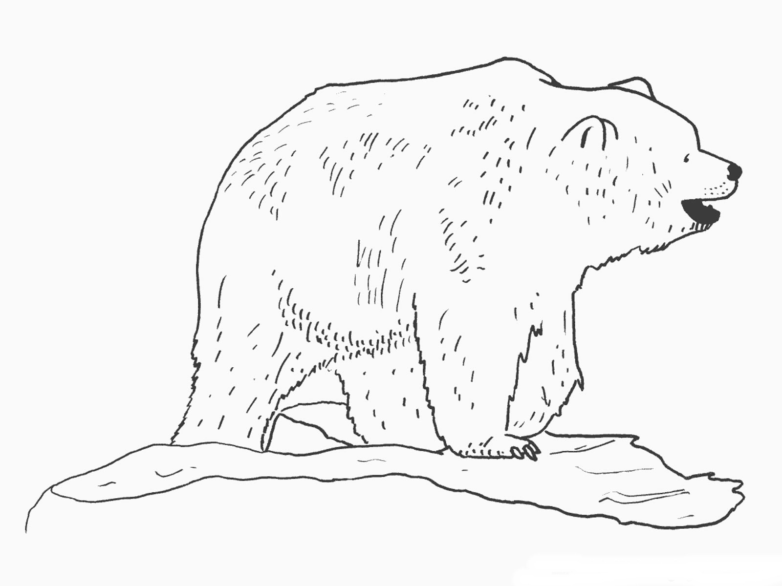 Bear Coloring Pages Realistic