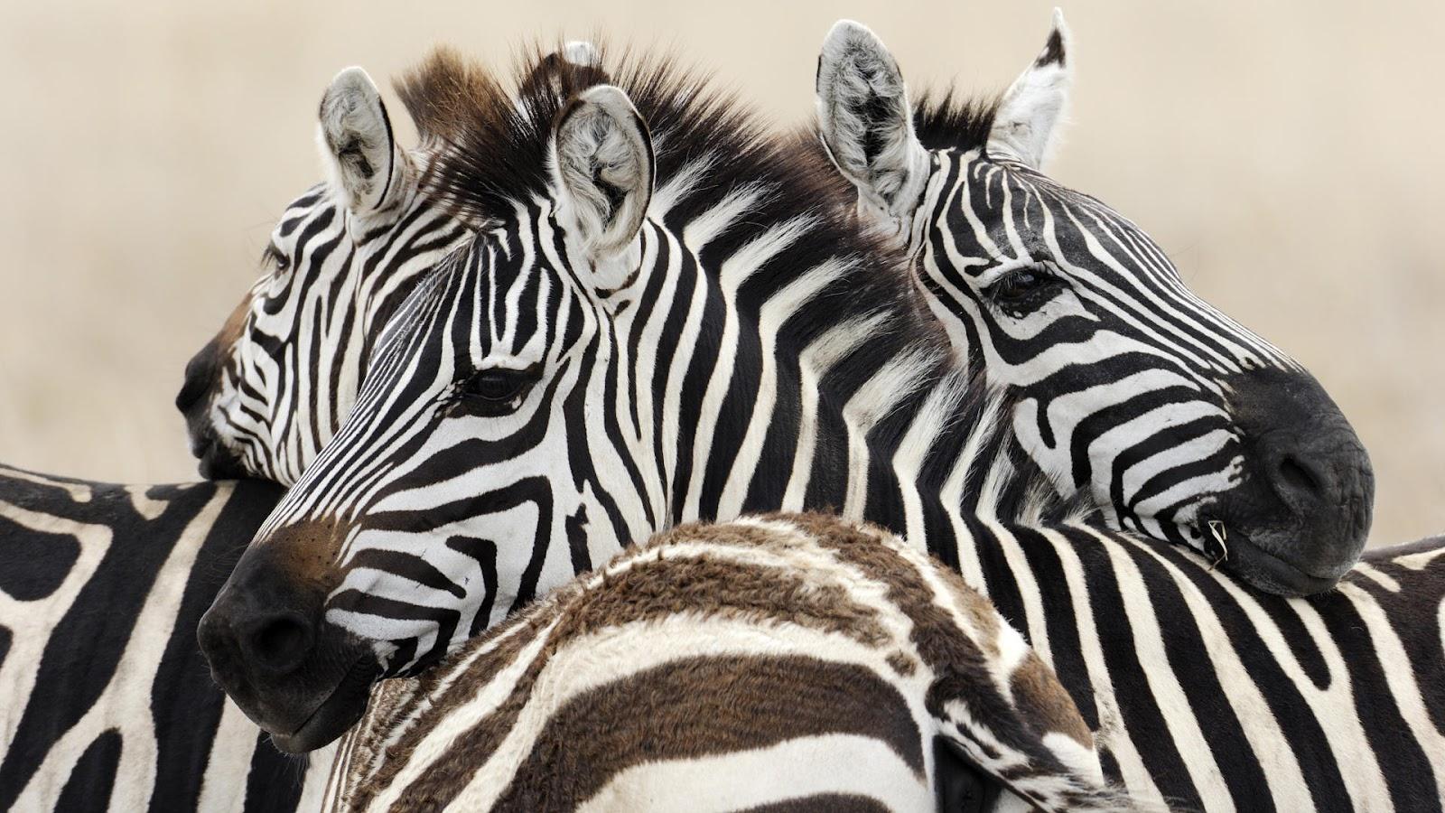 http://3.bp.blogspot.com/-_b1xKhm32q8/UClfZktjuTI/AAAAAAAAEtk/-wXOYE4Wjtk/s1600/hd-zebra-wallpaper-met-een-paar-zebras-achtergrond-foto.jpg