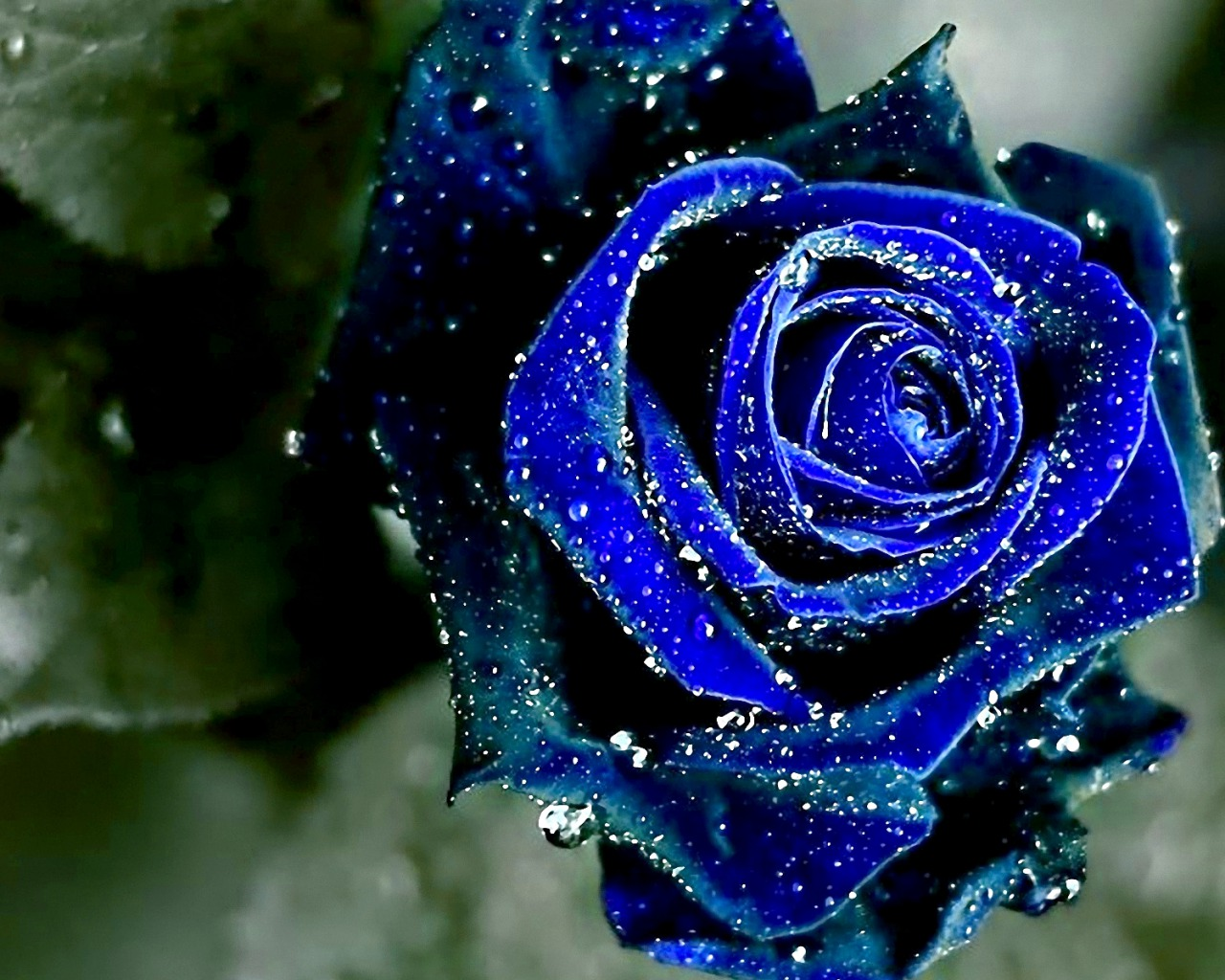 Beauty Blue Rose Flower Wallpaper