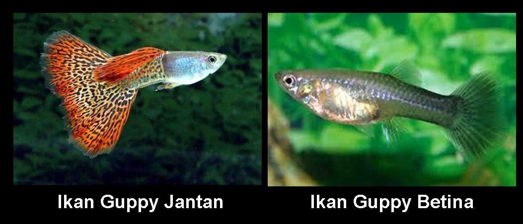 Ciri Ciri Ikan Guppy Lasopafake