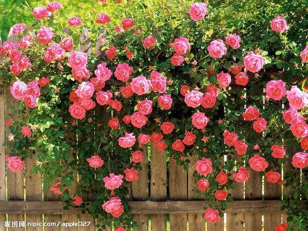 Estar cercado de rosas é estar cercado de amor!