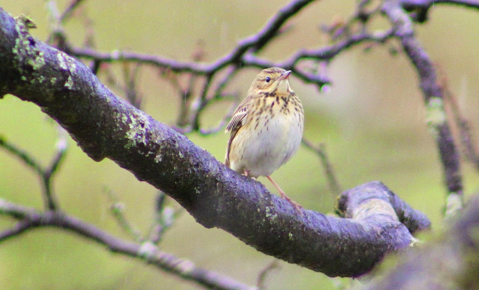 M Hogan Glamorgan 3 Valleys Birding: Cwm...