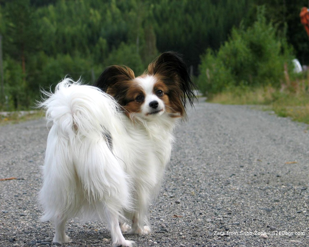 papillon_dog_wallpaper.jpg