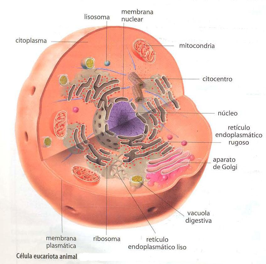 El blog de Ciencias de 2º B: Célula animal