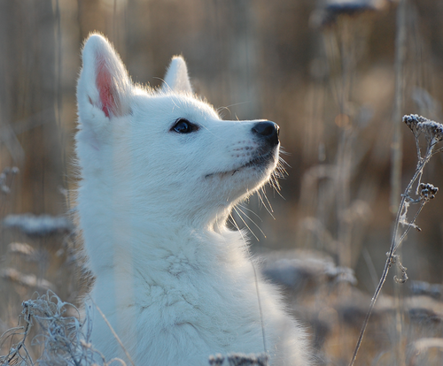 Cute white wolf pup with blue eyes - photo#15