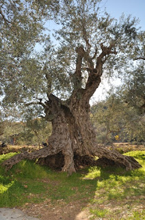 7 Pohon Tertua Di Dunia