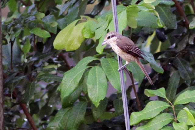 Finally migrant birds perched at my backyard. Not a lifer but Brown Shrike