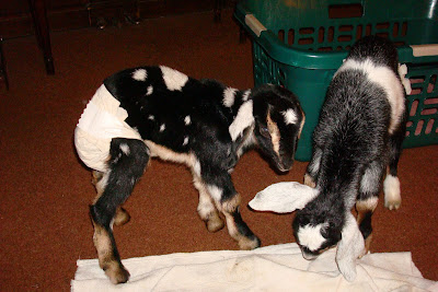 Picture of the 2 baby goats playing