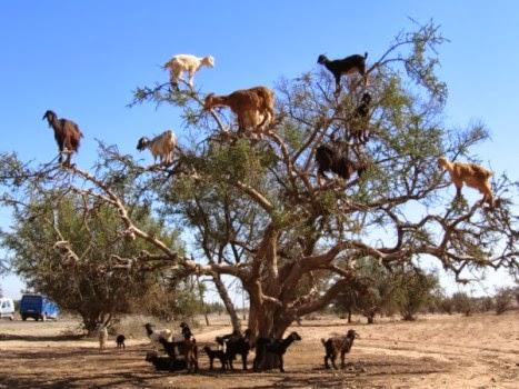 unijk pohon berbuah kambing